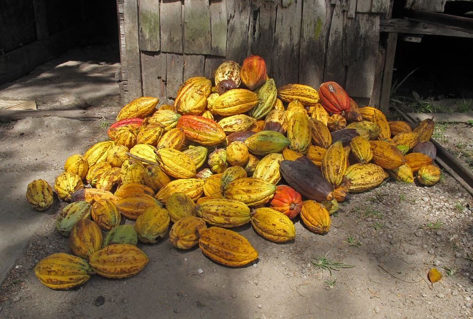 Cocoa (Theobroma caco) harvested pods'n'nFond Doux plantation, St Lucia, Lesser Antilles November