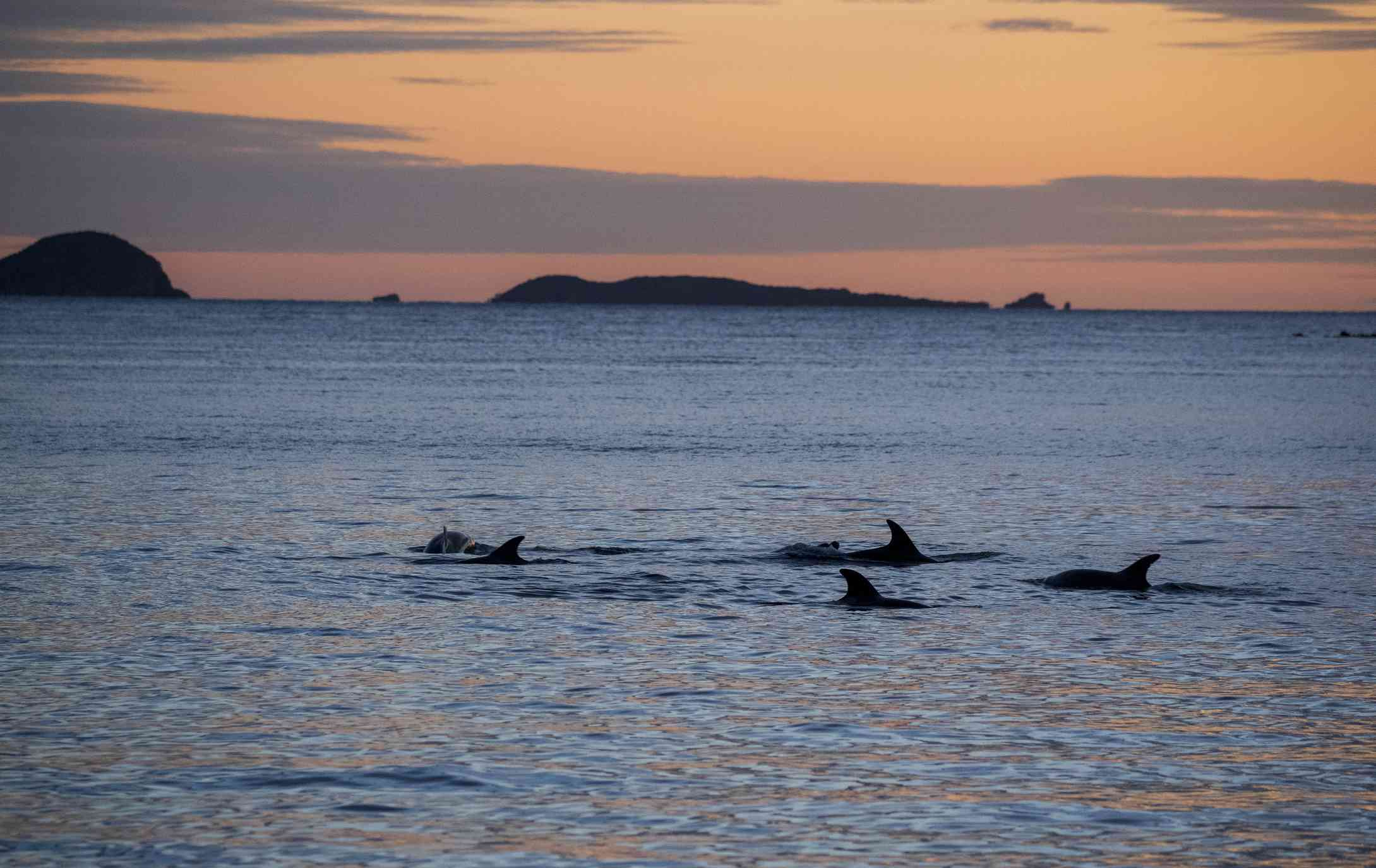 dorsal fins of a pod of dolphins breaking the water with a sunset and islands in the background
