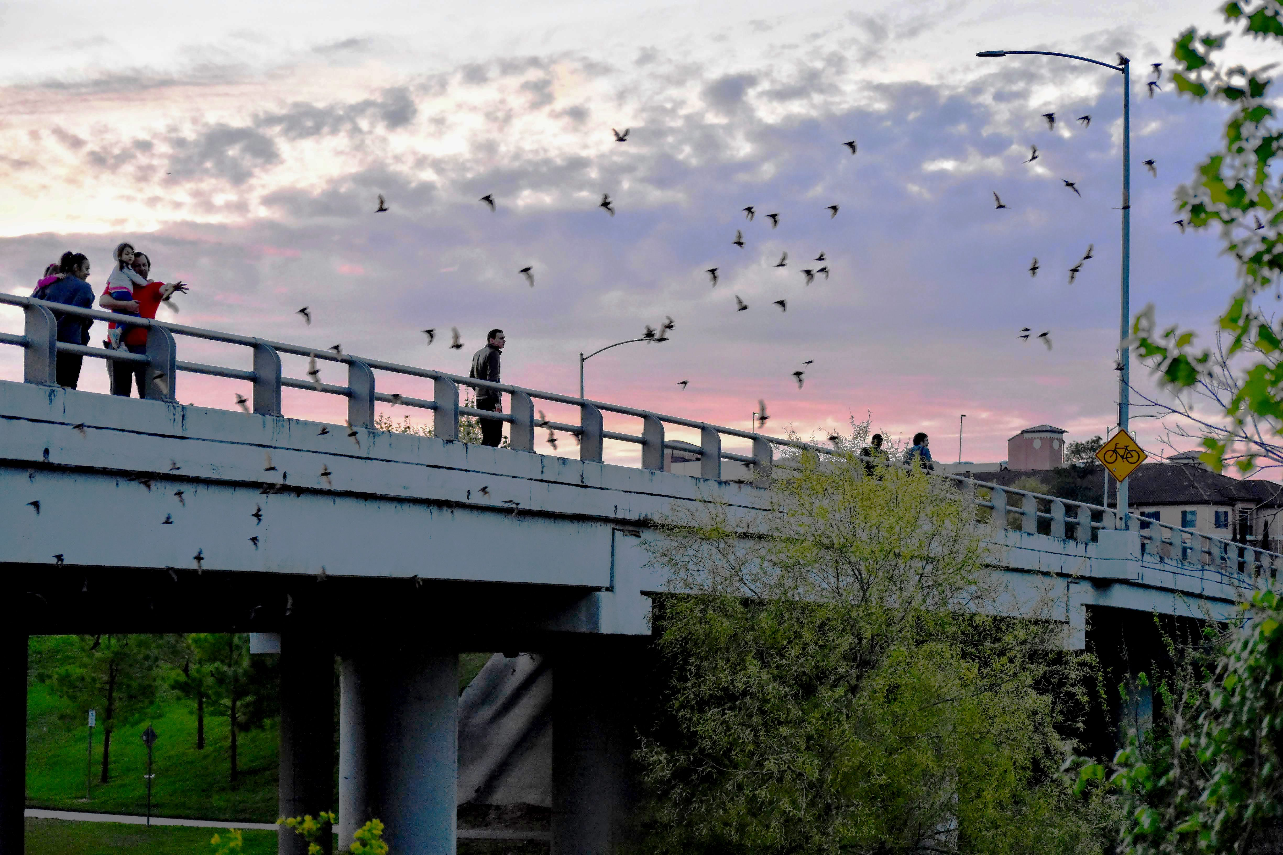 bats flying out from underneath the houston bridge