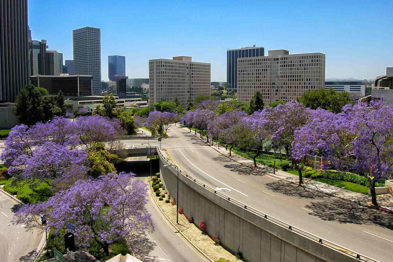 Jacarandas en Los Ángeles