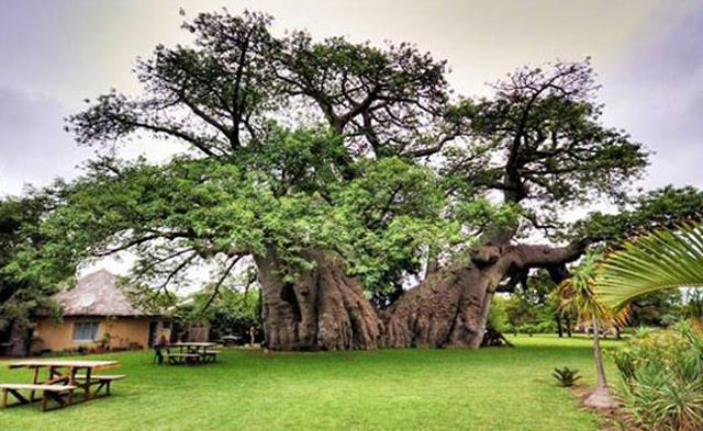 The Baobab Fun Facts About Africa s Tree of Life