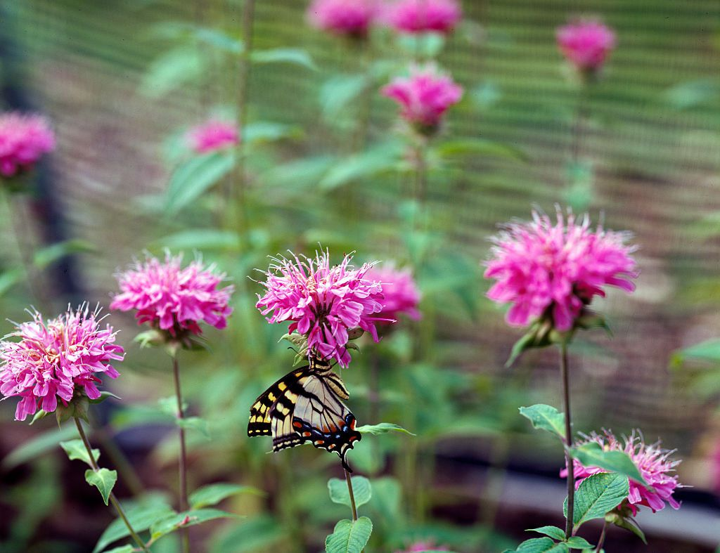 Magic-wings butterfly in an enclosure at the botanical garden of the Museum of Life and Science, Durham