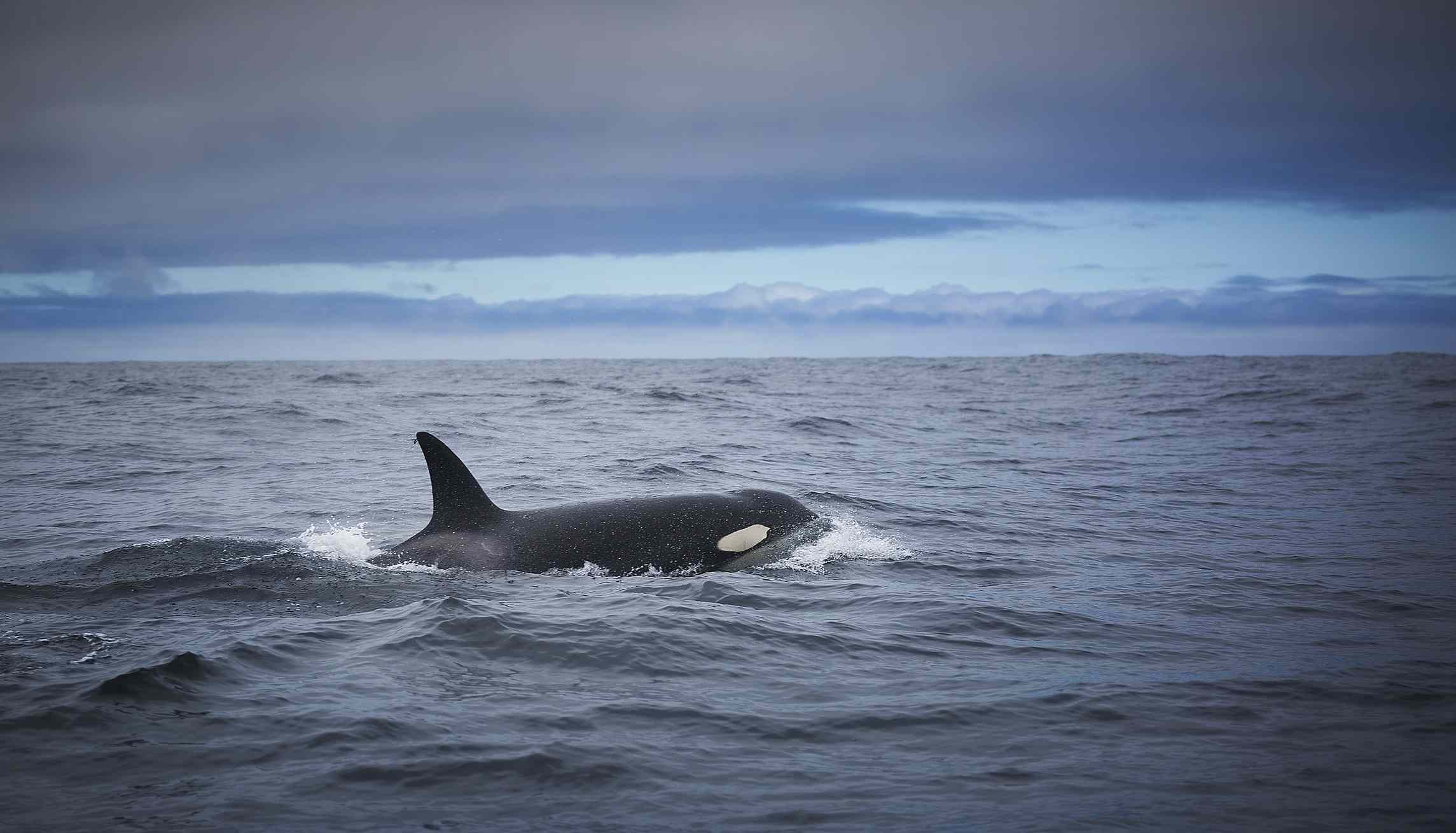 Africa's Best Whale & Dolphin-Watching Destinations Killer Whale