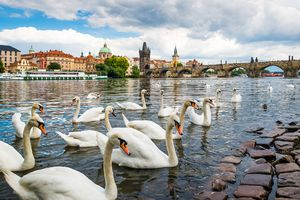 Swans in the Vltava river with the Charles Bridge in backgroud.