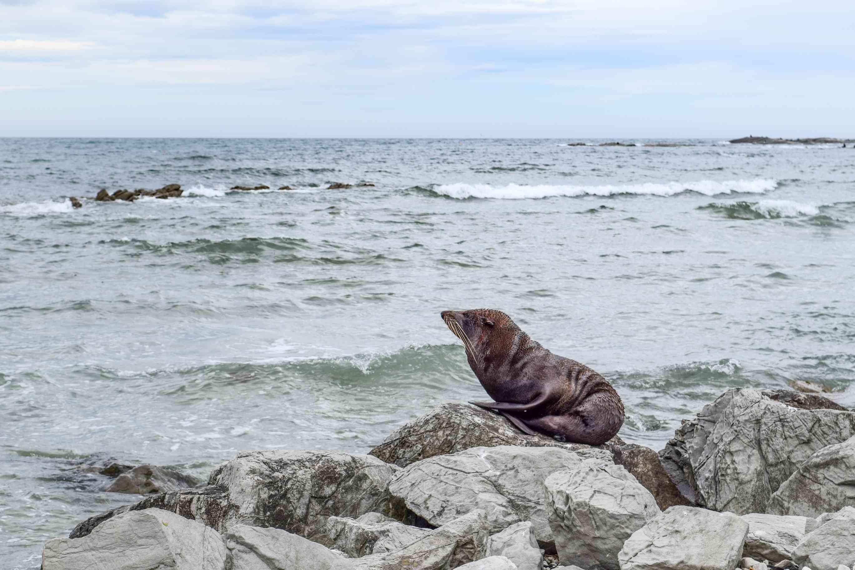 A seal sitting on rocks on the beach in Kaikoura