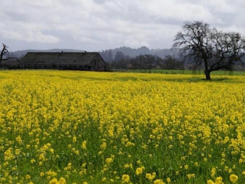 mustard on Joe Rodota Trail