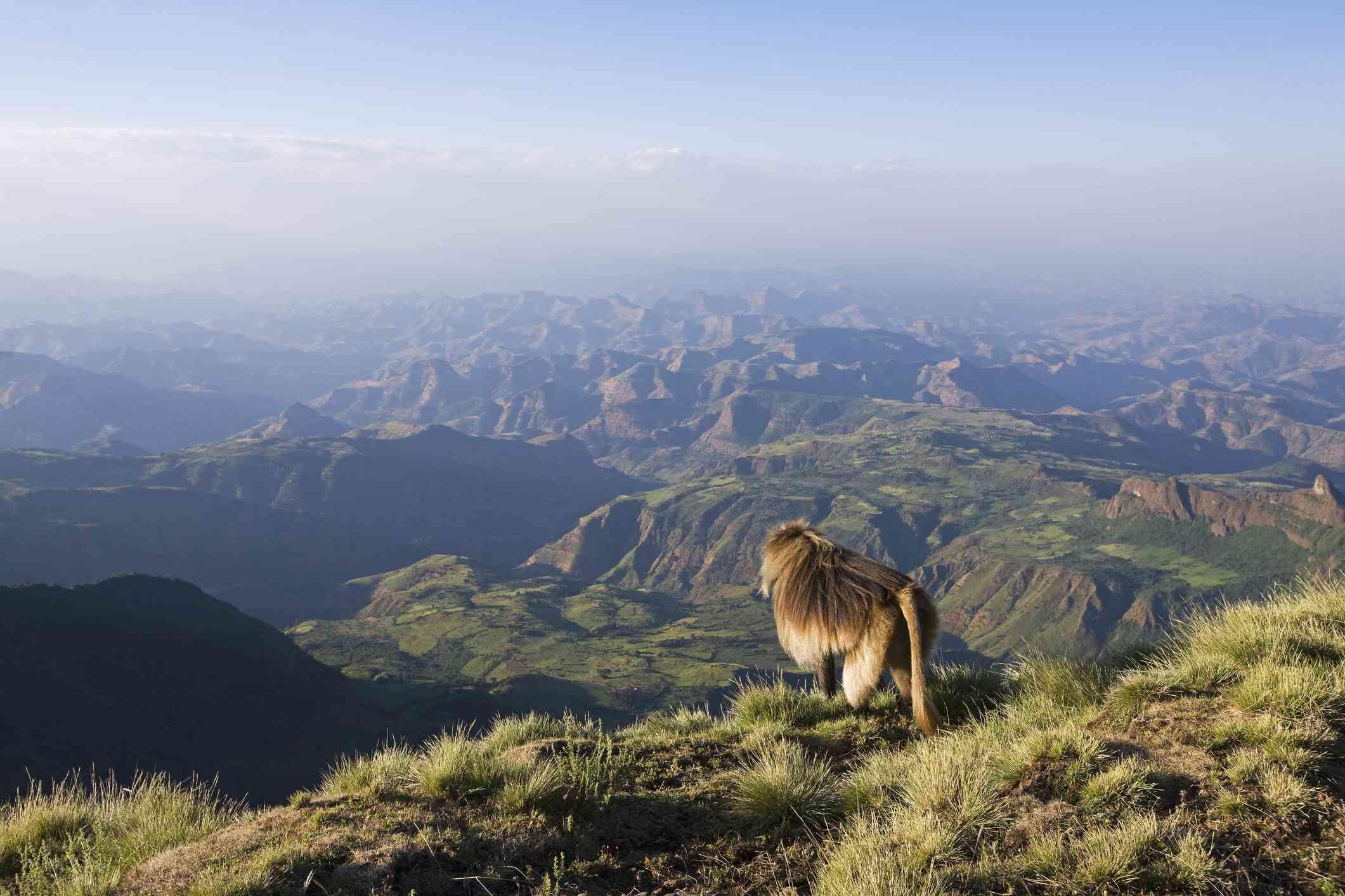 Gelada macho sentado en el borde del acantilado