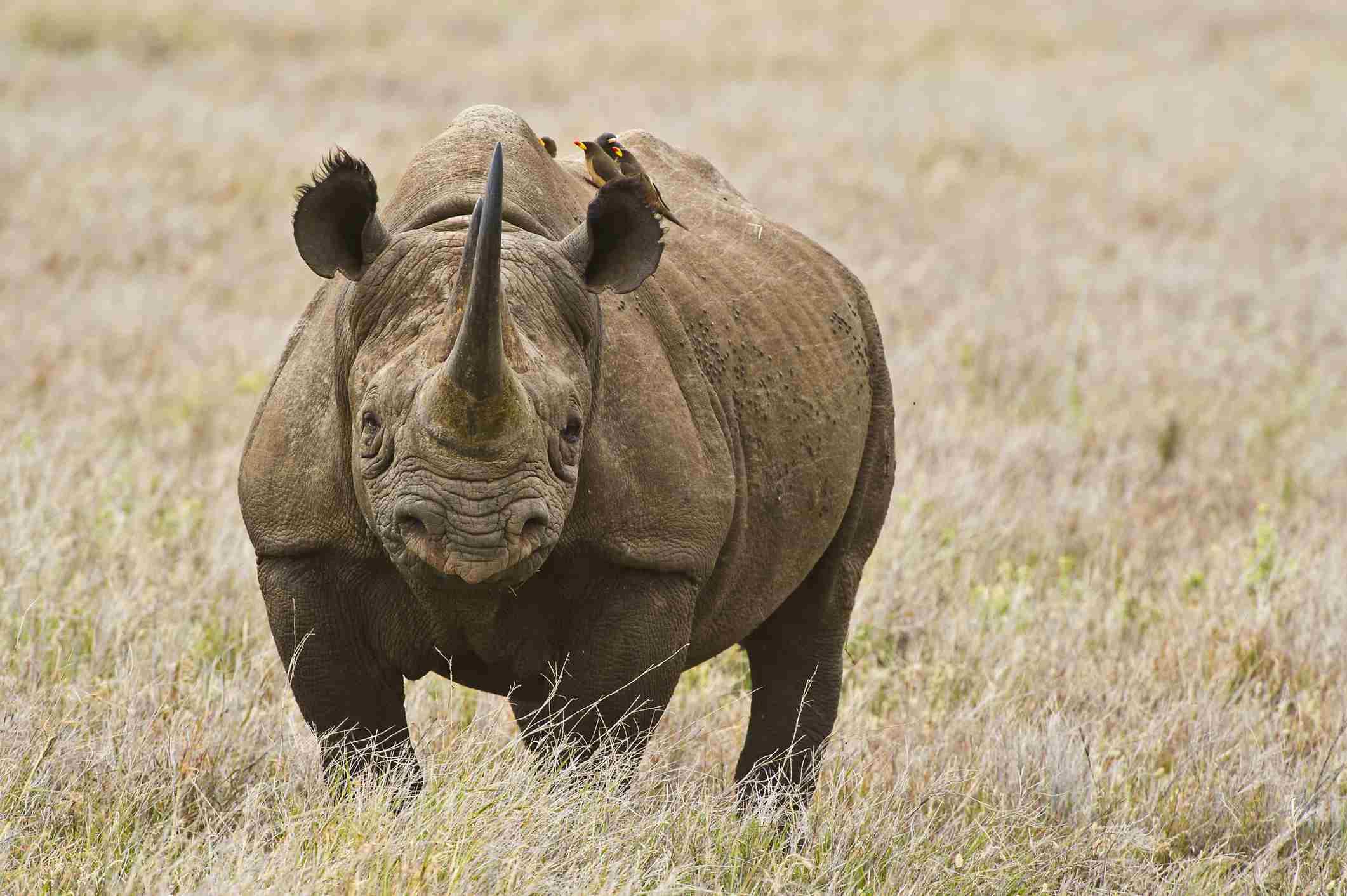 Black rhino, Lewa Conservancy, Kenya