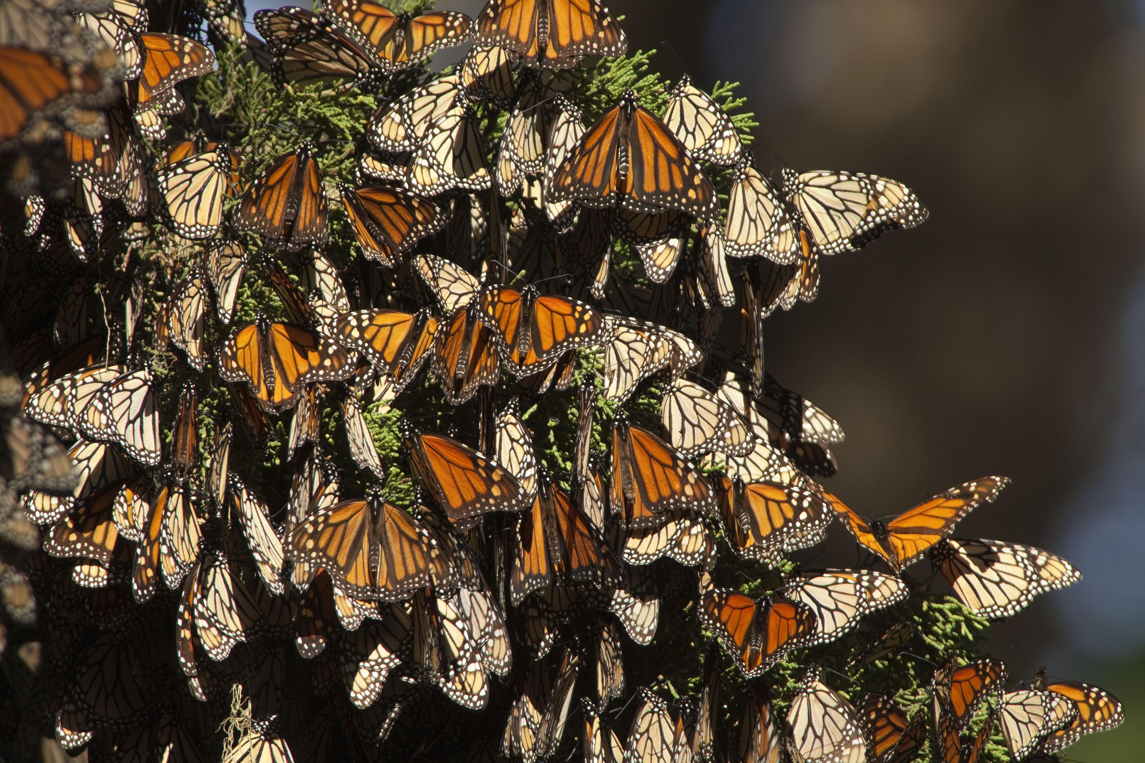 Migrating monarch butterflies in Monterey Bay, California