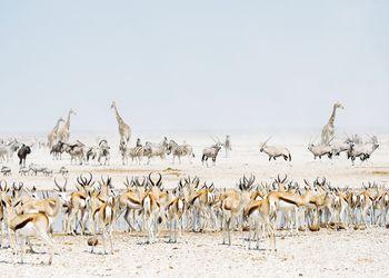 Animals at the waterhole with Etosha Pan behind, Etosha National Park