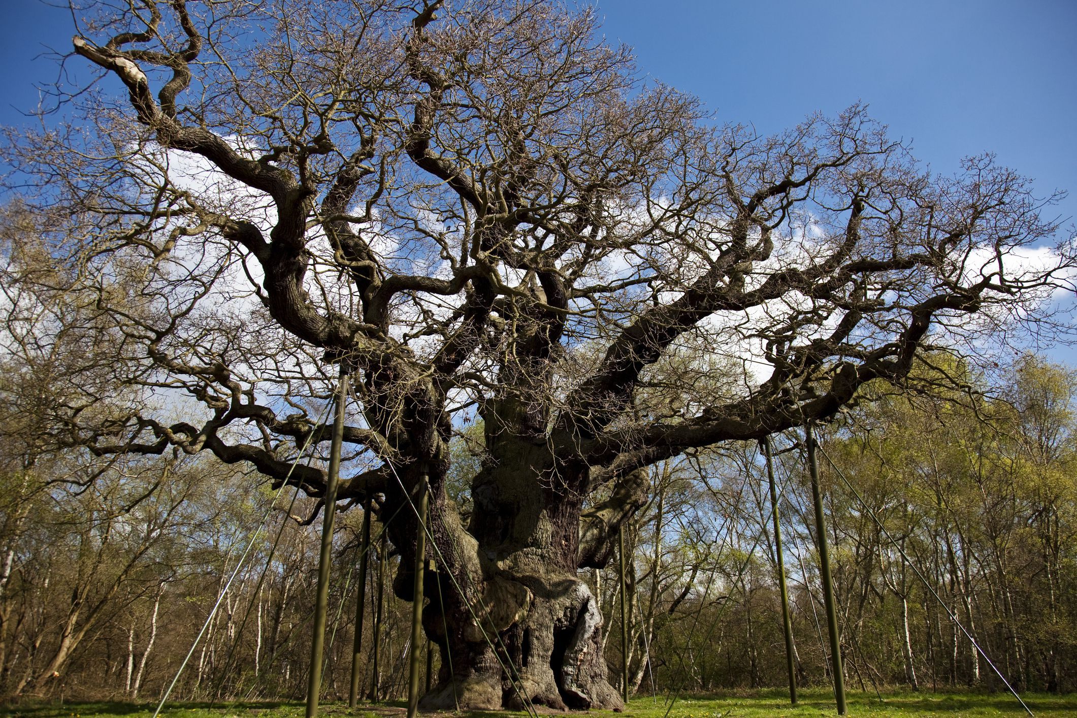 Ancient Major Oak in Sherwood Forest is known as Robin Hood's hiding place