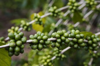 Hawaiian christmas and new years words and phrases enjoy these different types of hawaiian coffee m4hsunfo