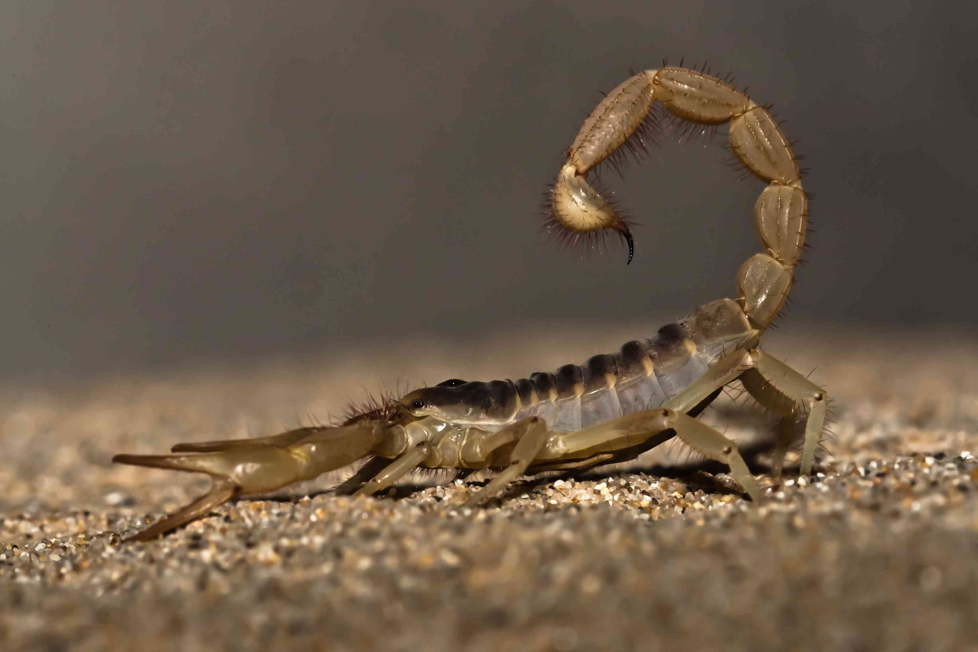 The Most Common Types of Scorpions in Arizona