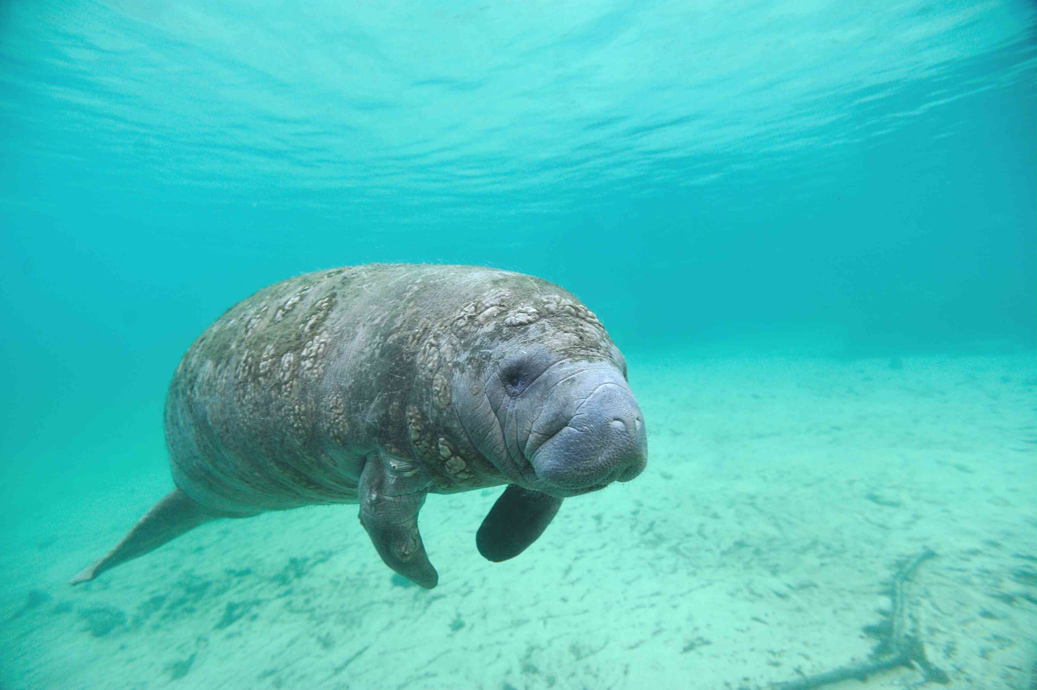 Manatee swimming under the blue waters of the Crystal River in Florida