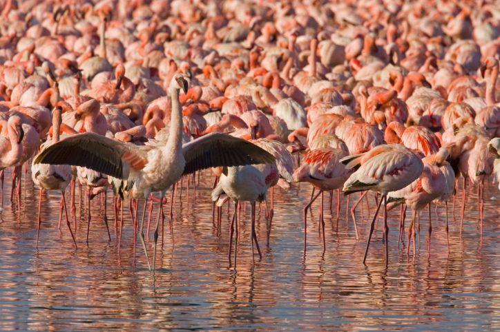 Flock of lesser flamingos, Kenya