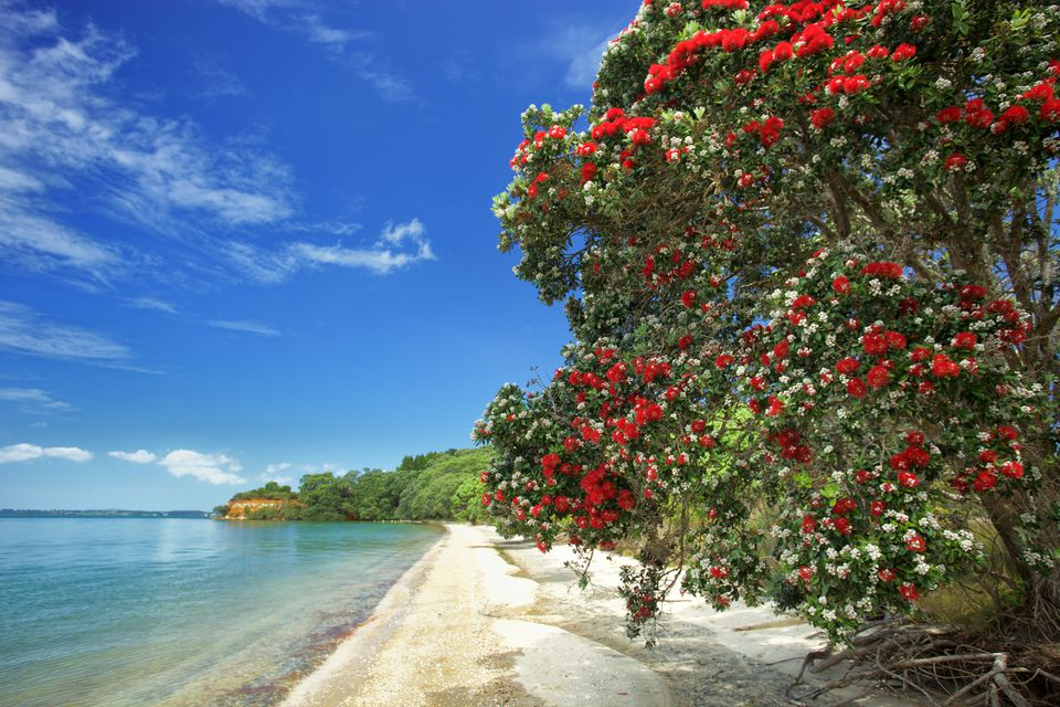 Pohutukawa Blossoms at Awhitu Regional Park, Auckland, New Zealand