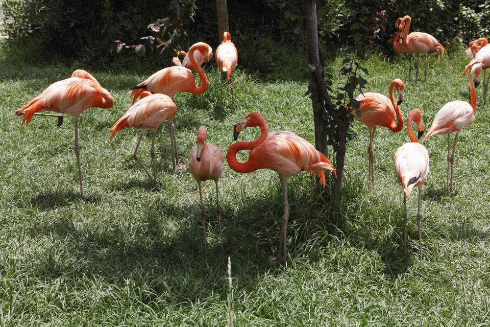 Flamencos en el zoológico de Lisboa