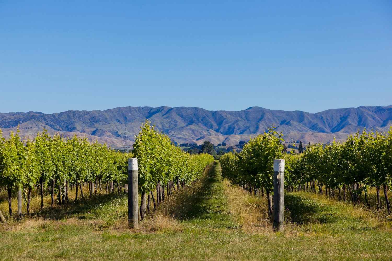 Vineyards in Rapaura Road. New Zealand
