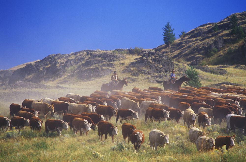 Cattle Drive - Focus Ranch, Wyoming