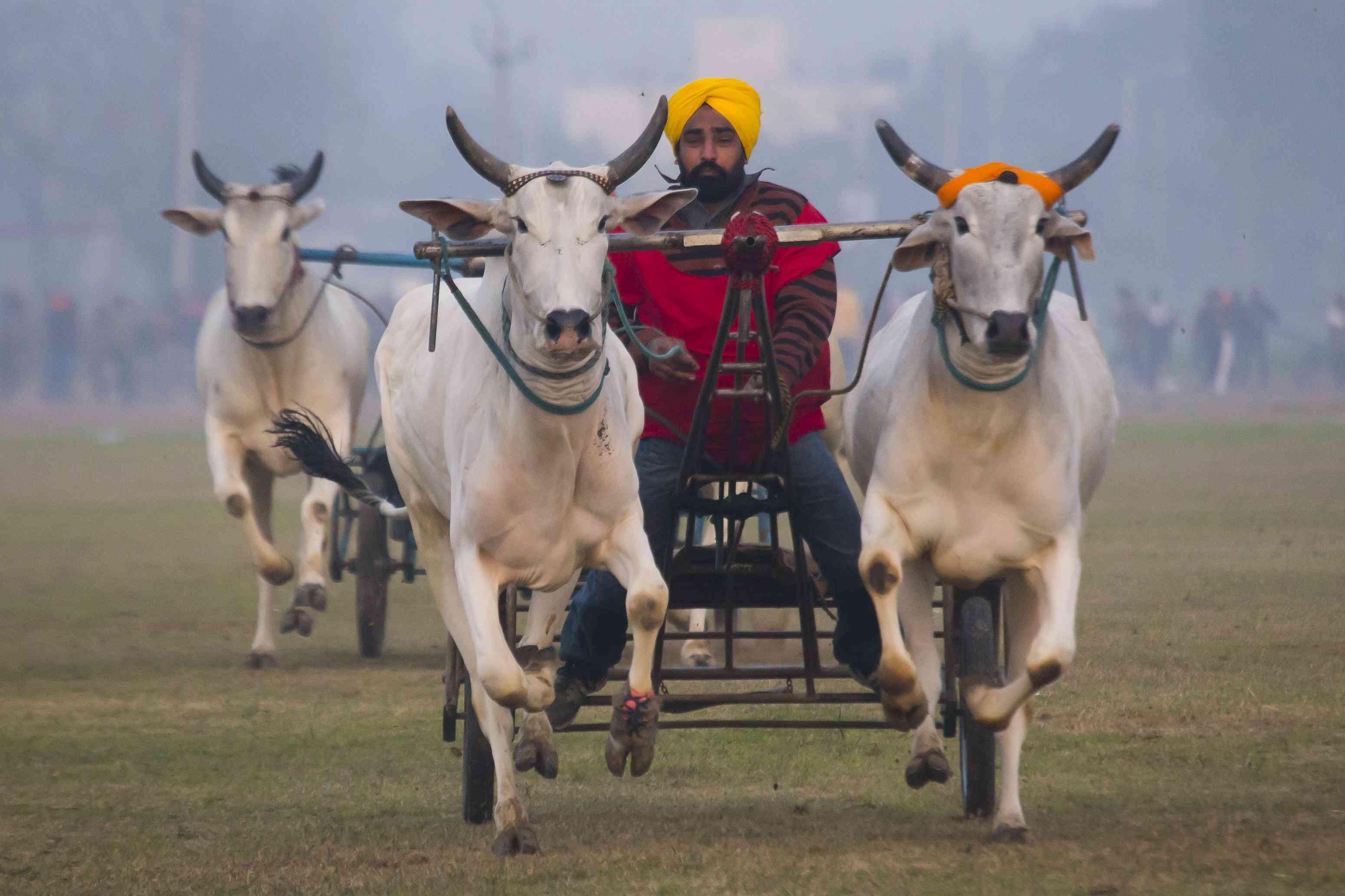 Kila Railpur Rural Olymics bullock cart race.