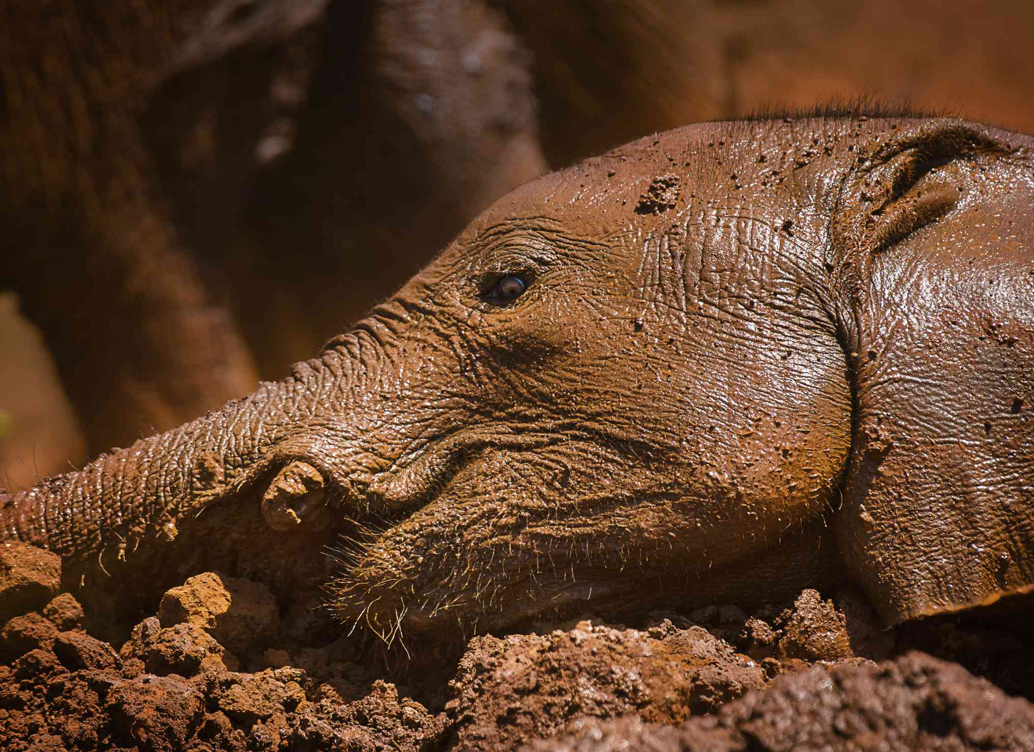 A Young Elephant Calf Enjoys a Lie in the mud in close up at Nairobi National Park, Kenya.