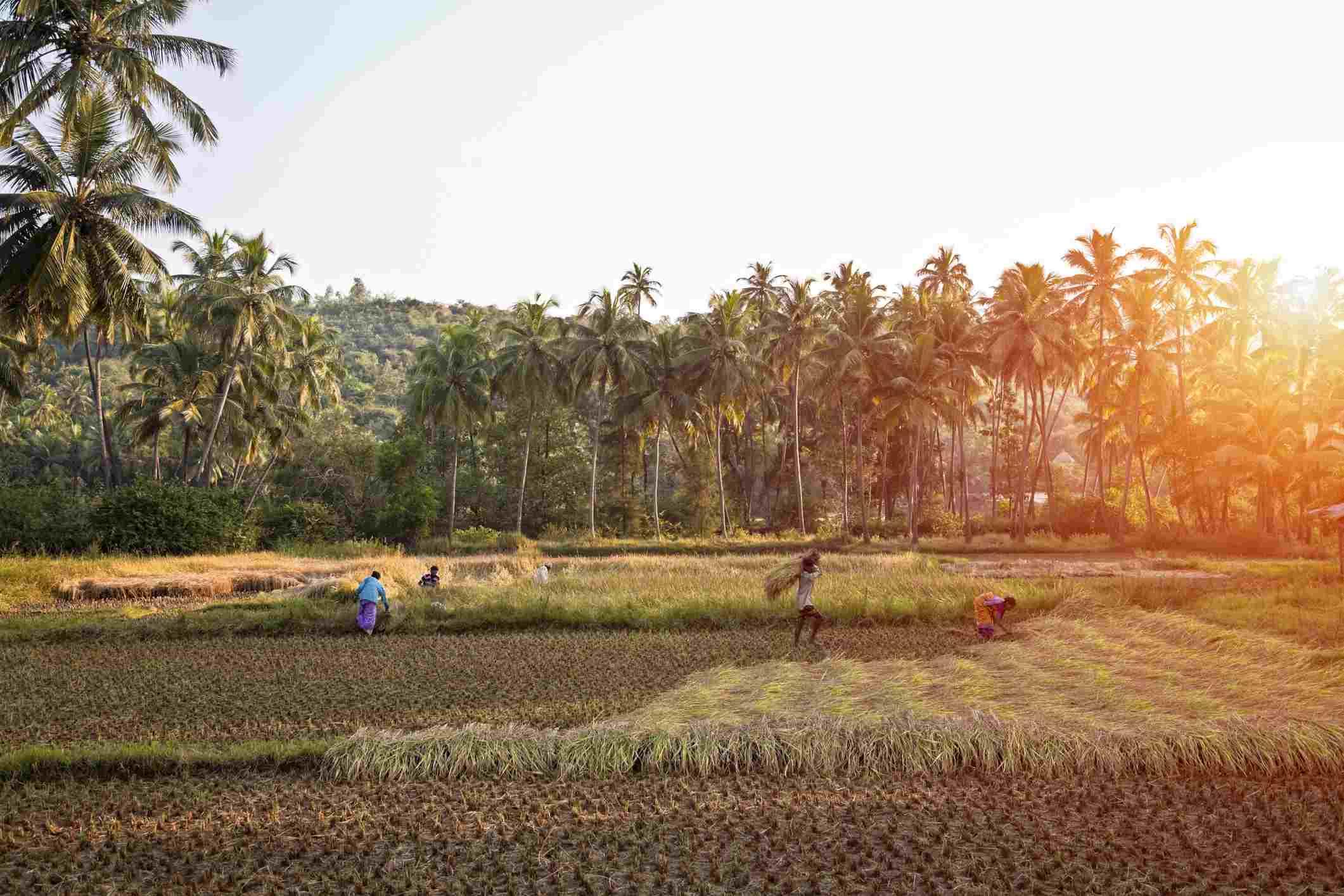 Rice fields in Goa.