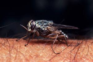 Information About the Tsetse Fly and Sleeping Sickness
