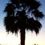 Curacao Palm
