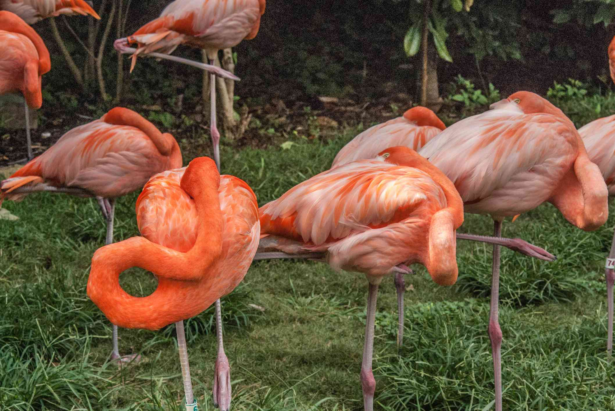 A bunch of flamingos sleeping with one leg up and their heads resting on their bodies at Nashville Zoo in Grossmere