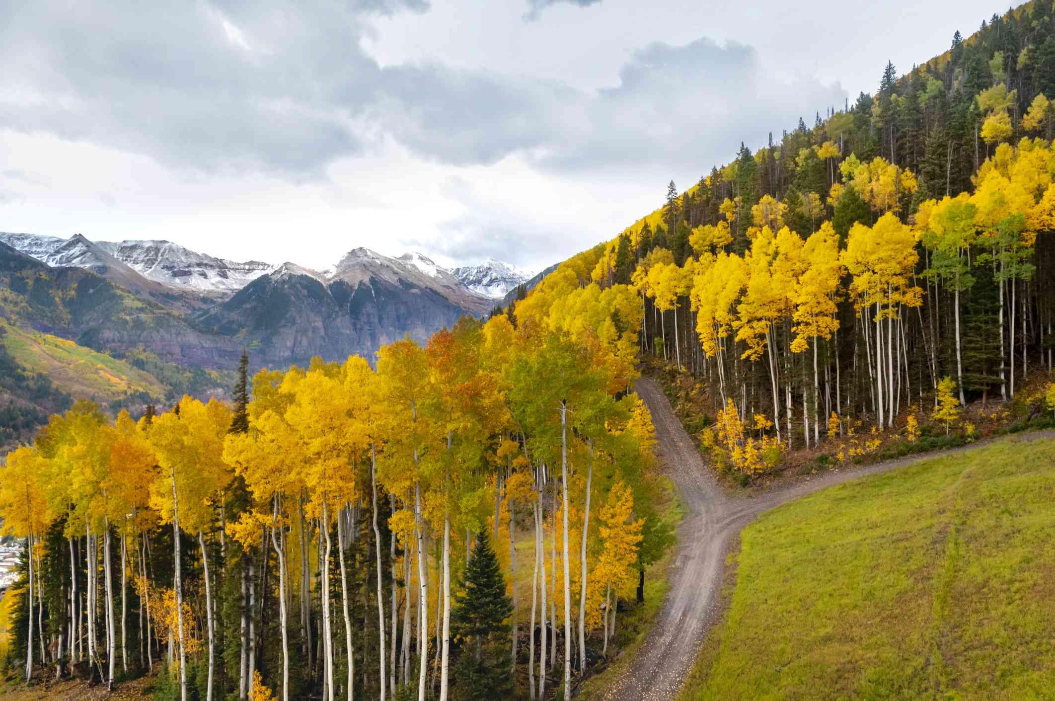 Fall Aspens in Telluride, Colorado