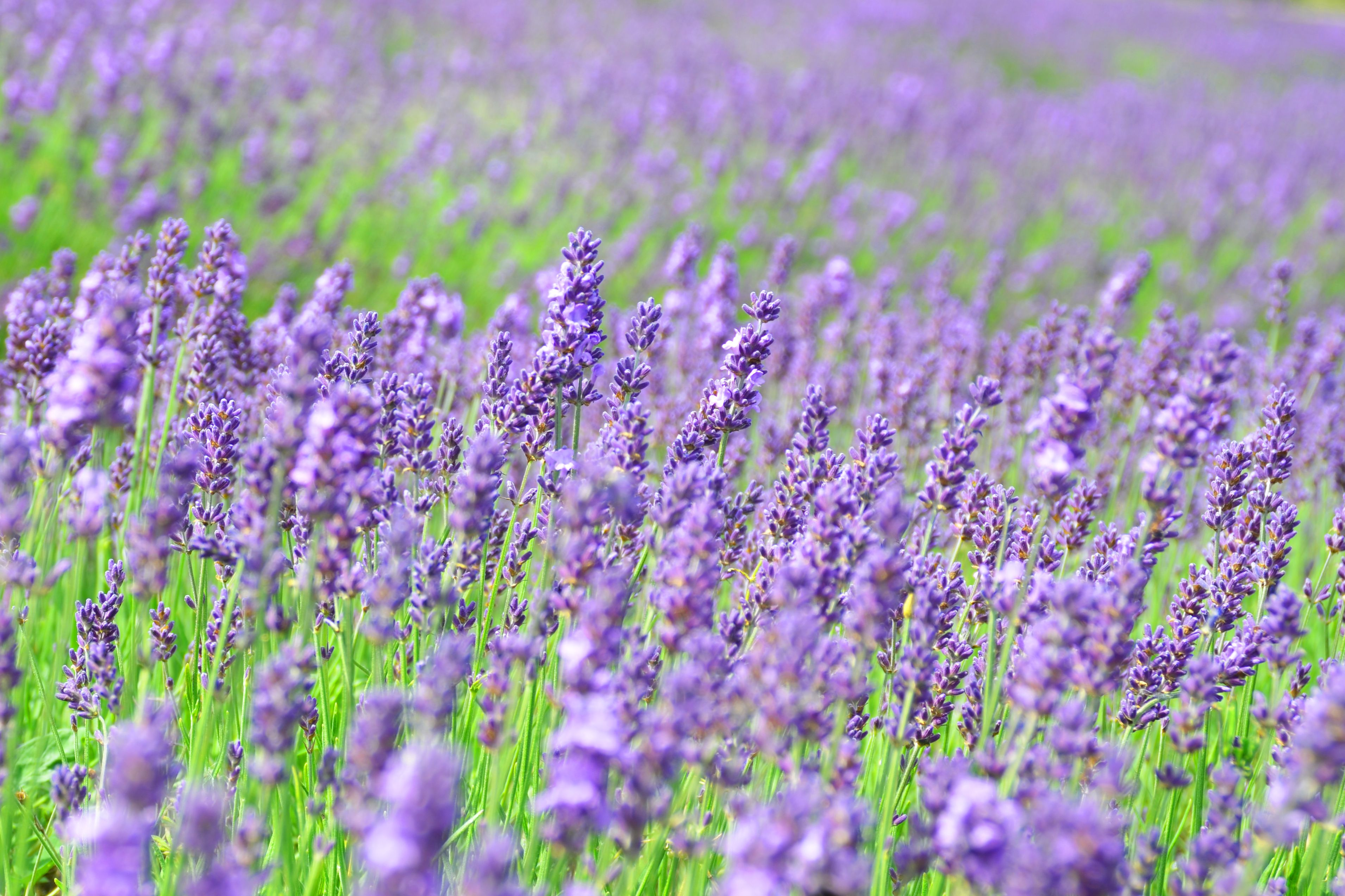 Close-up view of lavender in field, Norfolk, UK