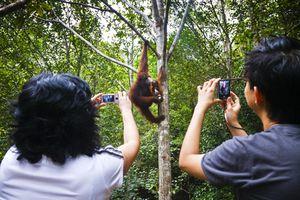 Tourists photographing an orangutan (Pongo pygmaeus). Semenngoh Wildlife Centre. Kuching, Sarawak, Borneo, Malaysia