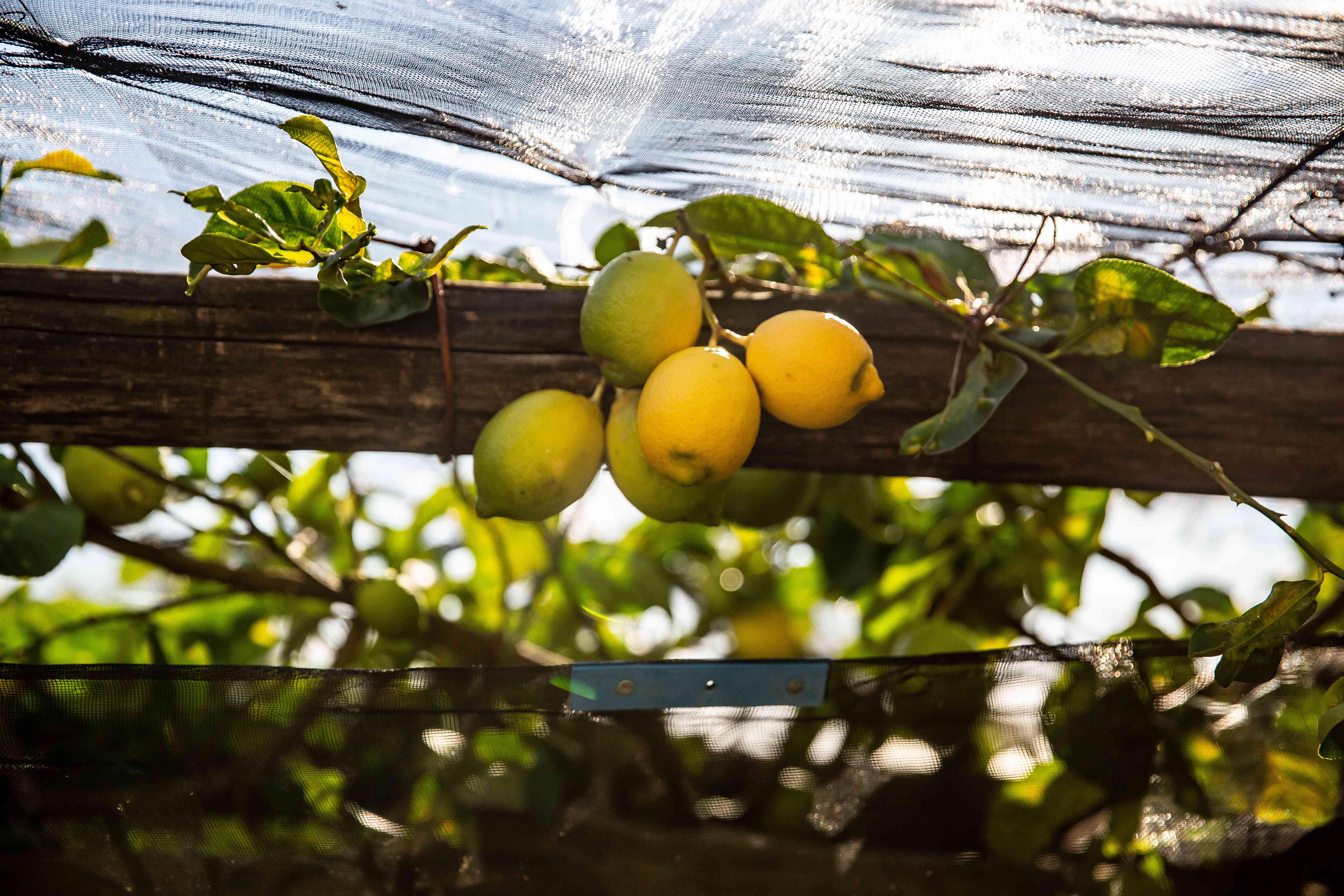 Lemons from Sentiero dei Limoni, Amalfi Coast, Italy