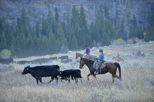 Big Horn Mountains cattle drive