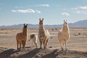 Llamas in the high desert