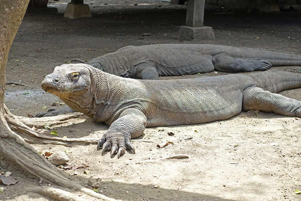 Komodo dragon sniffing around the ranger kitchen on Rinca Island, Indonesia