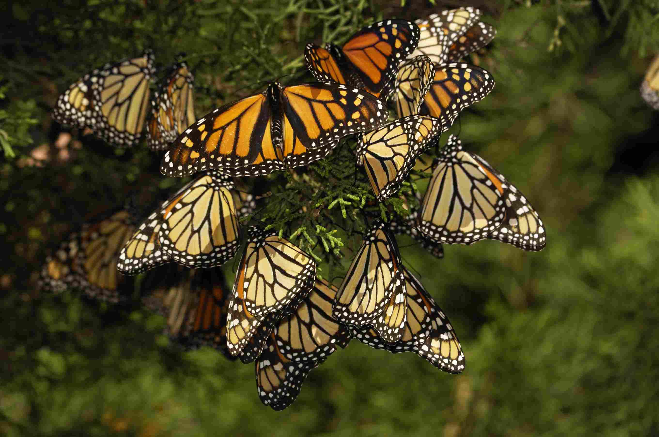 Monarch butterflies resting on a pine branch