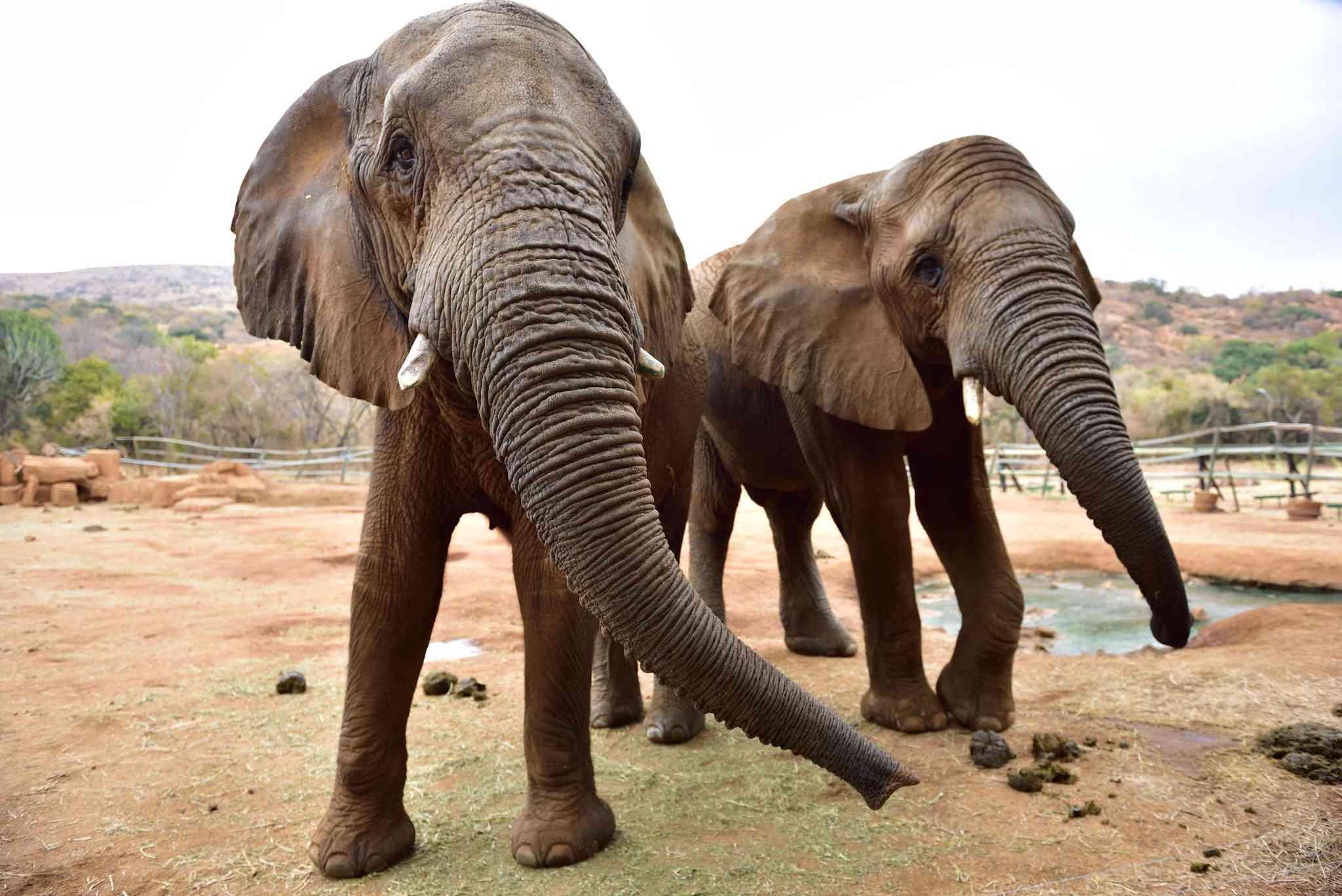 Elefantes en el Santuario de la Presa Hartbeespoort
