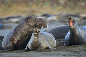 Northern Elephant seals (Mirounga angustirostris) on beach, California, USA