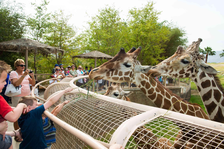 The Living Desert Giraffes