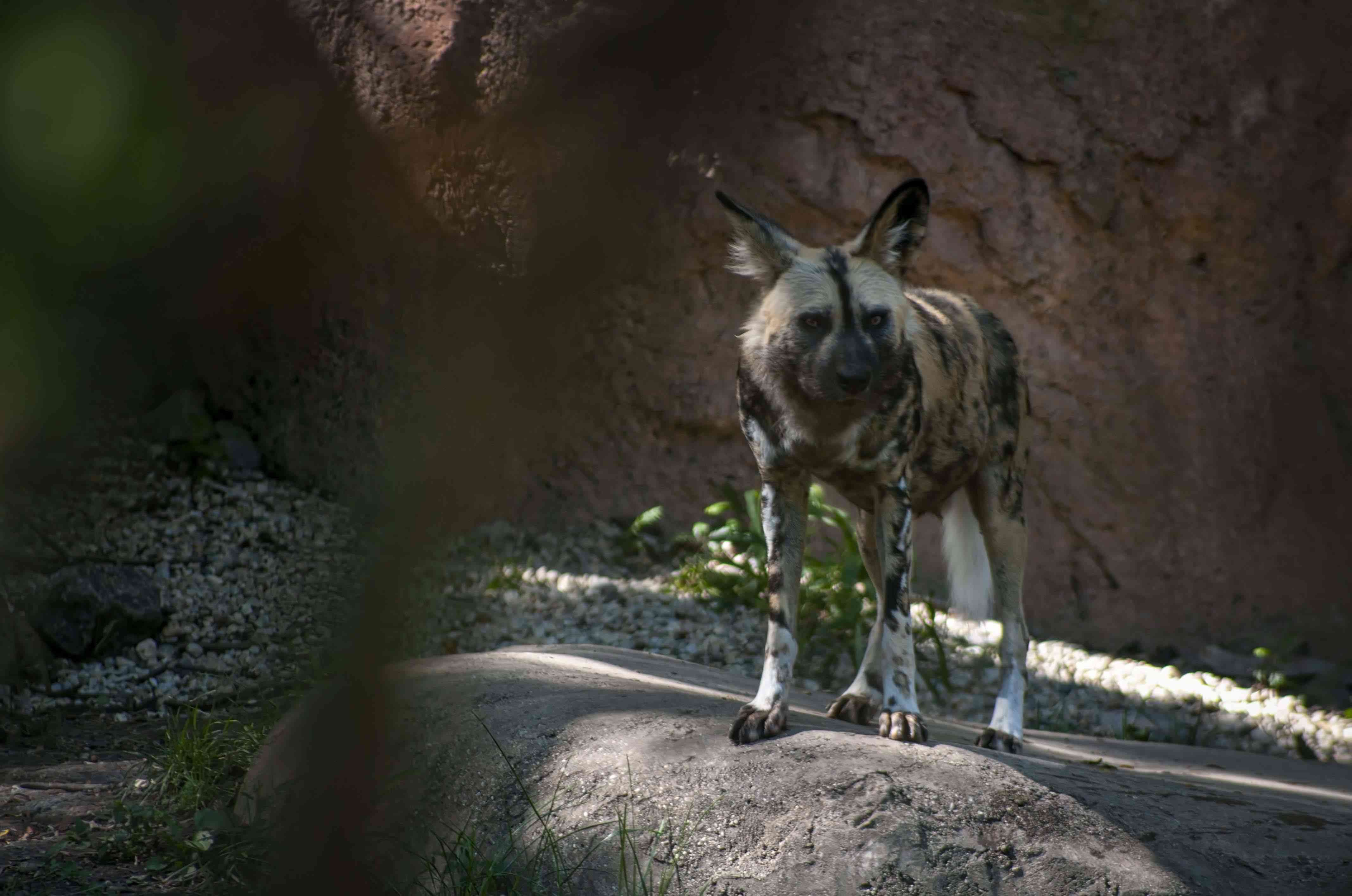 A hyena at the Brookfield Zoo