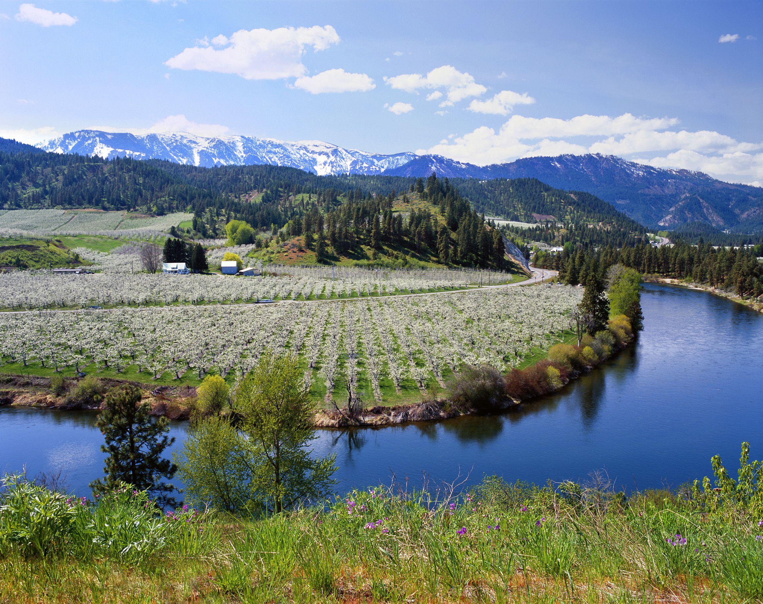 Manzanal en primavera florece a lo largo del río Wenatchee de Washington