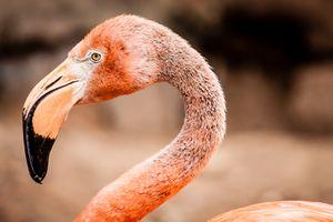 Audubon Zoo flamingo
