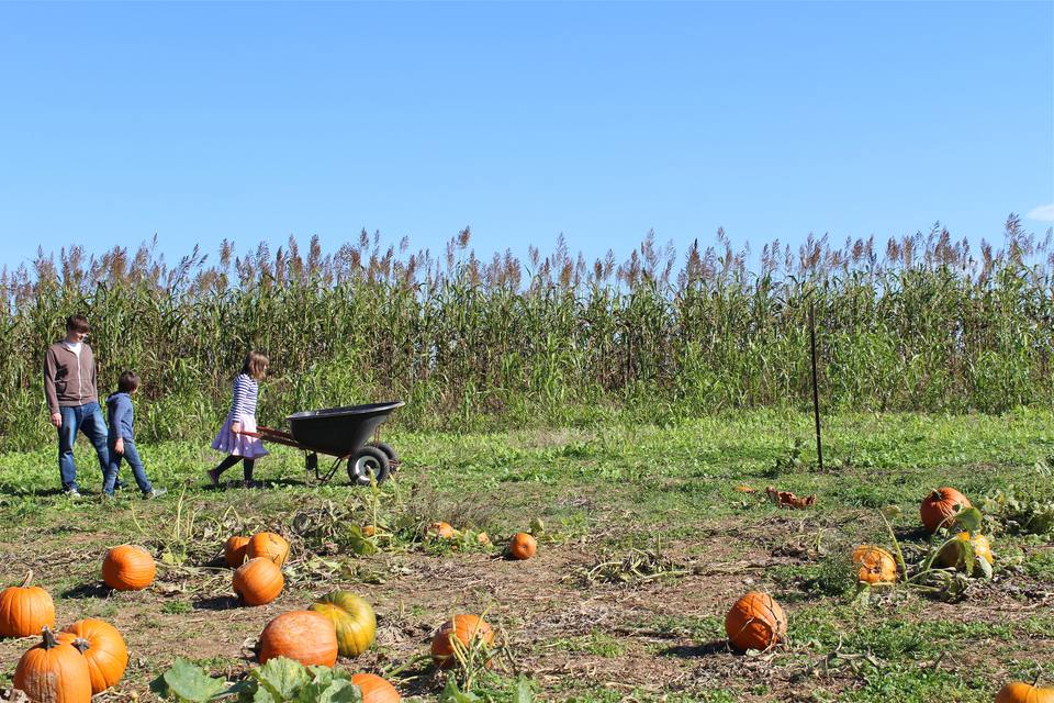 A father and his two kids pushing a wheelbarrow filled with pumpkins in a pumpkin patch on a farm.