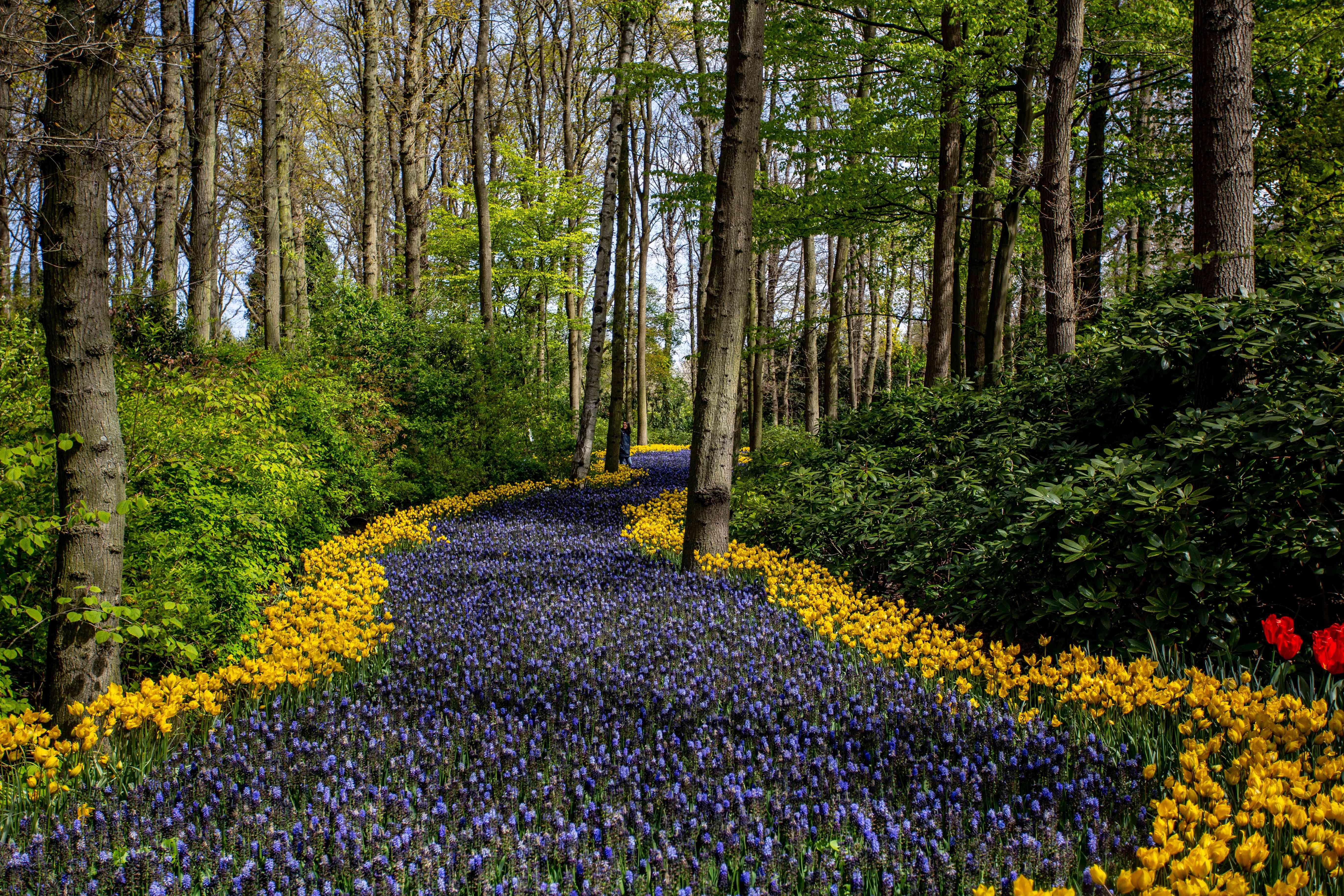 Tulipanes en los jardines de Keukenhoff
