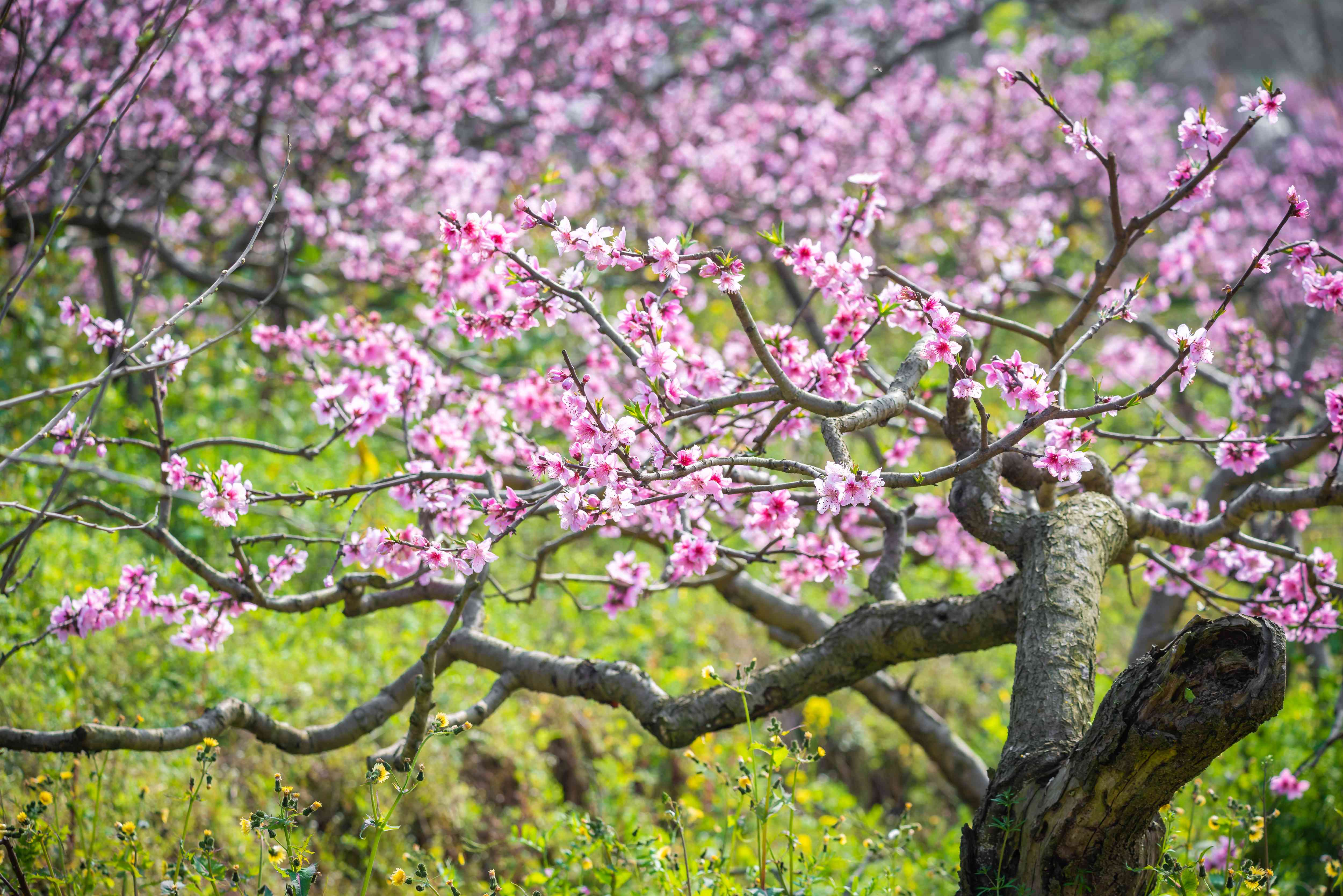 Pink peach blossoms on a tree in China