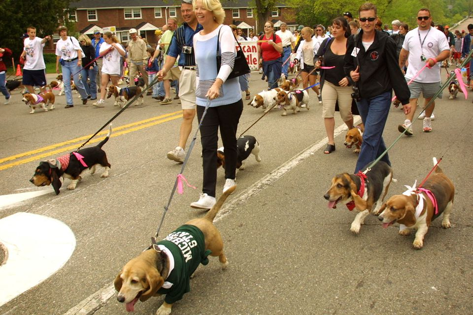 Hundreds of basset hounds and their owners waddle through the streets of downtown Birmingham, Michigan at the Great American Basset Waddle