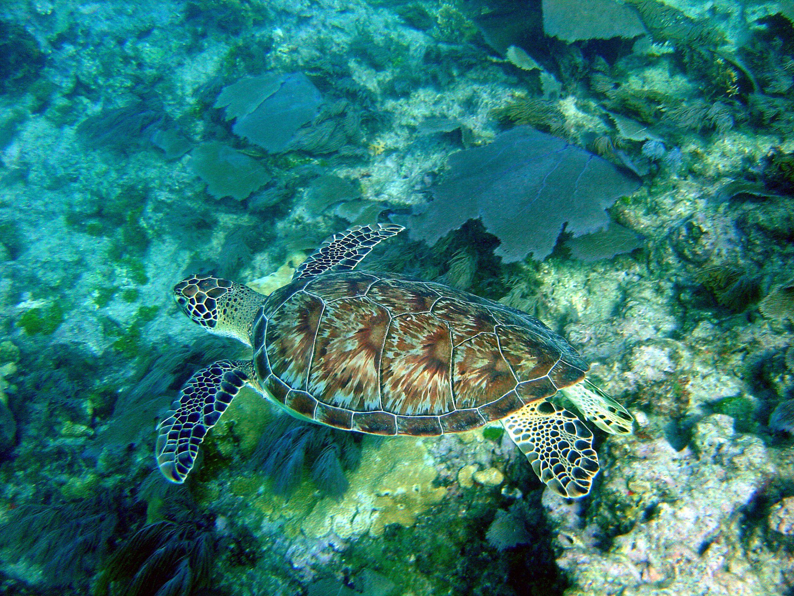 Sea turtle swimming near some sea fans