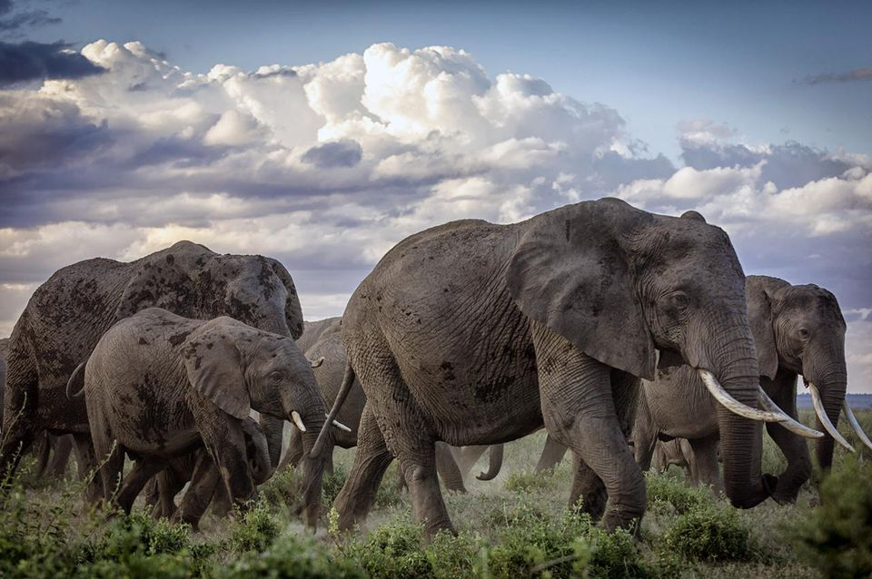 Herd of African elephants on the move, Amboseli National Park, Kenya (Loxodonta africana).