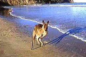 Kangaroo, Pebbly Beach, New South Wales